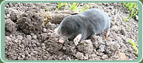 Picture of mole